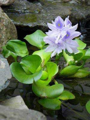 Water Hyacinth for Ponds