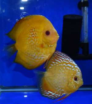 GOLD PASSION / ALENQUER RED CROSS JUVENILE DISCUS