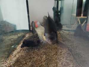Two Red Bellied Piranha ~6