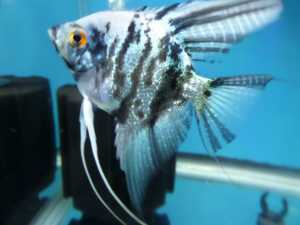 Fish - Blue Marble Angelfish