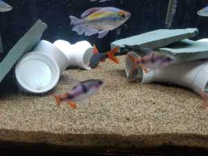 Congo Tetra group of 8