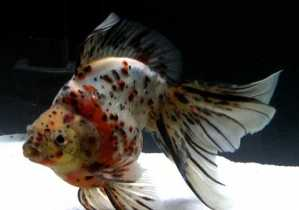 Ruykin Calico Groadtail Goldfish 9