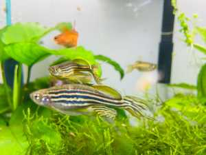Mix of Zebra leopard danios