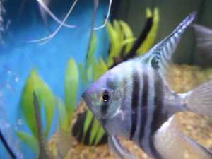 Fish - Blue Zebra Angelfish