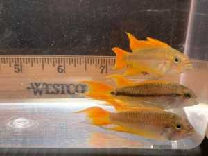 Apistogramma Cacatuoides Orange Flash Males