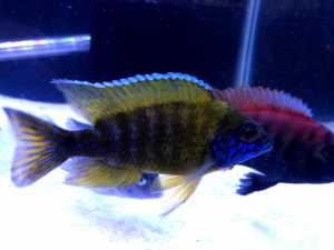 F1 Yellow Benga/Sunshine Peacock