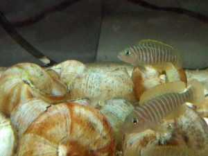 Adults Neolamprologus similis