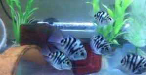 Polar Blue Parrot Cichlids 2in  Young juveniles Males and females available