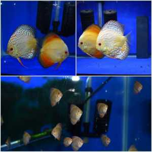 ALBINO PIGEON BLOOD / RED MELON CROSS DISCUS/ JUVENILES