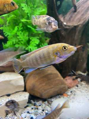 Labeotropheus Trewavasae yellow head/ob Pombo