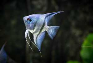 Philippine Blue Pearl Scale Angelfish