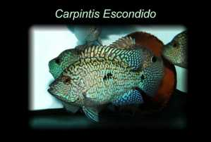8 small Carpintis escondido - free shipping