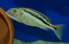 Aristochromis christyi Female