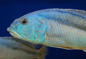 Aristochromis christyi Male