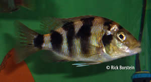 Placidochromis mliomo Female