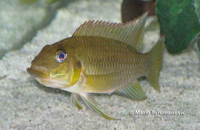 Chromidotilapia kingsleyae Female