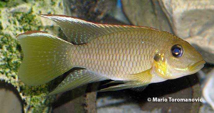 Chromidotilapia kingsleyae Male