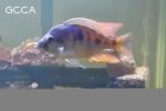 Lethrinops Intermedius Cichlids