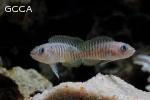 Multies (Neolamprologus Multifasciatus)