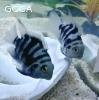 POLAR BLUE TIGER PARROTS!