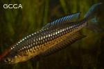 Rhadinocentrus ornatus from Castaways Creek