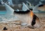 Wild Caught Cichlids