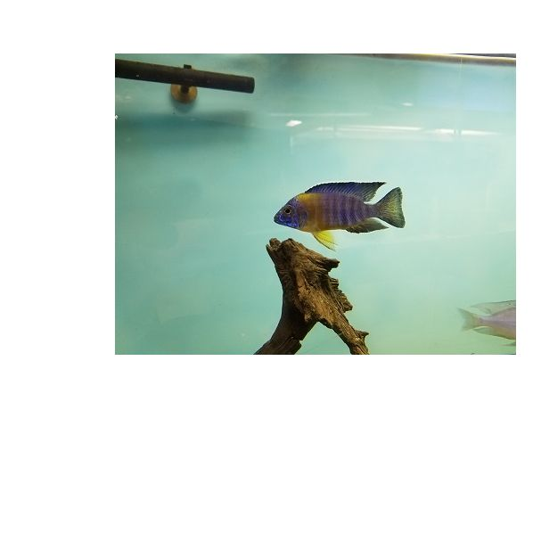 Dekalb African Cichlids