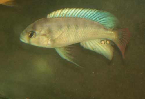 NeochromisOmnicaurelus.JPG