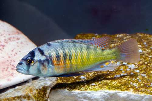 HaplochromislividusMurchisonbay.jpg