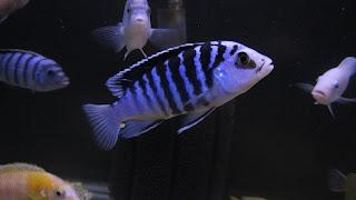 Labidochromis-Chisumulae-Chizumulu-2.jpg