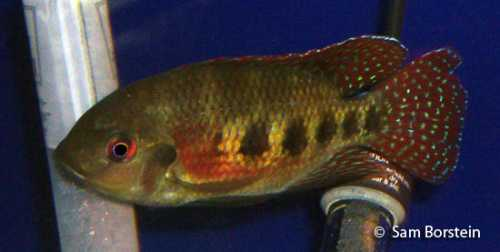 tilapiamariae.jpg
